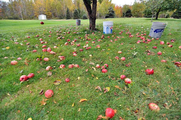 apples_ground_0004
