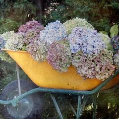Mi Frmula 1 (acativa) Tags: flores hydrangea hortensia theunforgettablepictures vanagram coht