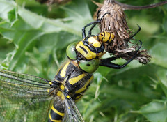 Golden-ringed dragonfly - Phil Parr
