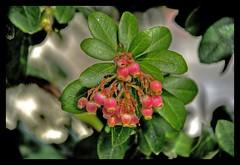 FLOR DE MADROO (ABUELA PINOCHO ) Tags: madrid espaa naturaleza flores arbol spain dof bokeh flor madroo becerrildelasierra