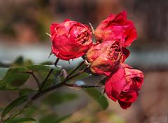 Au revoir! (rotraud_71) Tags: flowers autumn roses bokeh ilroseto vanagram danasland