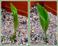 Proiphys amboinensis (Cardwell Lily) finally sprouted on November 11, after almost 2 months in the ground