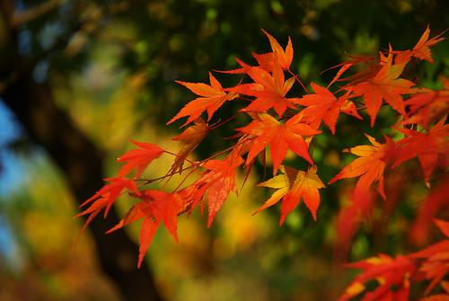 紅葉 / red and gold maple