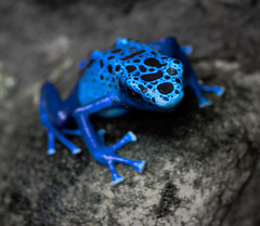 Front Man for the Blue Frog Group (JLMphoto) Tags: blue macro nature frog toad poison dart dendrobates suriname naturesfinest jlmphoto asureus