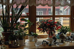 Julekaktusen og venner (flutnace) Tags: zygocactus julekaktus