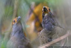 Spot-winged Wood-Quail_Odontophorus capueira plumbeicollis