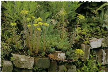 sedum in rockery planting in brick wall (New Perennial Garden - Noel Kingsbury)