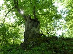 24.05.2011 (gzammarchi) Tags: italia natura campagna sole albero paesaggio collina riflesso camminata itinerario castagno piancaldoli firenzuolafi