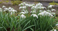 Churchyard Flora @ Charing (Kent) (Adam Swaine) Tags: churchyard charing snowdrops naturelovers nature petals flora flowers wildflowers england english kent britain canon counties countryside uk ukvillages rural ruralkent ruralvillages ruralchurches swaine