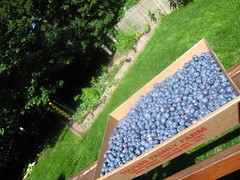 10lbs of blueberries