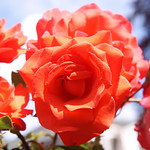 Bunch of Roses thumbnail