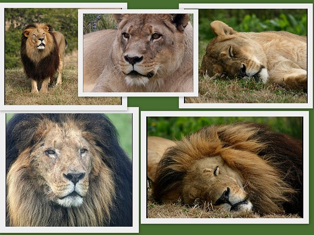 Lion Collage1