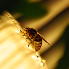 To bee or not to bee. A wasp. (.max) Tags: macro lamp night wasp bee late visiting nikond90
