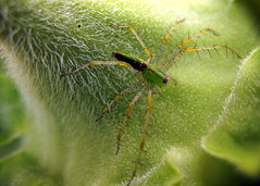 Who's Hiding in Your Sunflowers? (peasap) Tags: california summer hairy macro bus green closeup canon spider legs sandiego arachnid elcajon july 8 powershot sunflower spikes hairylegs eightlegs greenspider g10