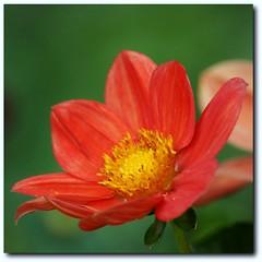 Dahlie (motivsucher) Tags: dahlia flower blossom mygarden blume blüte dahlie sal70400g