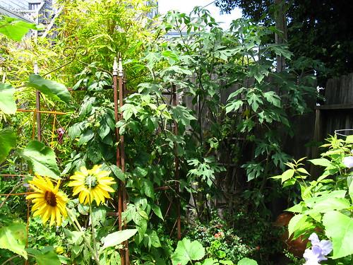 2009-08-01 garden; Tithonia diversifolia