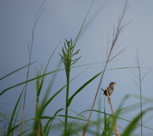 On the Sound: wren on marsh island