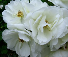 Beauty in White (-Reji) Tags: california ca roses usa white flower macro beauty june rose geotagged three holidays pasadena geotag huntingtongarden june09 usavisit09