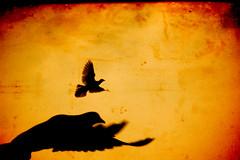flight of freedom (ion-bogdan dumitrescu) Tags: wallpaper freedom fly flying pigeon photoshopped pigeons flight malaysia kualalumpur bitzi summer09 ibdp mg9729 nearbatucaves findgetty ibdpro wwwibdpro ionbogdandumitrescuphotography safo2012