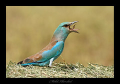 good bye frog (mohammad khorshid (boali)) Tags: blue bird birds canon is european wildlife eaten frog roller kuwait usm swallow 4l ef osk q8   kwt   600mm   1dmk2n    kwvc