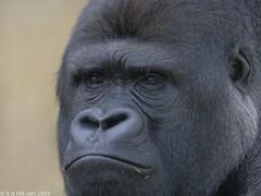 Lowland gorilla 'Djanghou' (gentle lemur) Tags: lowlandgorilla howlettswildanimalpark gggorilla