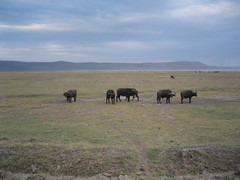 African Buffalos at Lake Nakuru NP in Kenya