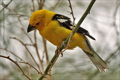 Curious Yellow Grosbeak (Foto Martien) Tags: arizona holland netherlands dutch sonora mexico zoo desert guatemala arnhem nederland burgers chiapas veluwe burgerszoo ecosystem niederlande dierentuin gelderland southwesternunitedstates dierenpark woestijn southwesternus a350 burgersdierenpark yellowgrosbeak pheucticuschrysopeplus platinumheartaward burgersdesert sonyalpha350 gelekernbijter martienuiterweerd deserthall woestijnhal ecodisplays martienarnhem sony70300gssmlens mexicanyellowgrosbeak vanrossemsgrosbeak vigorsgrosbeak picogruesoamarillo gelekardinaal mygearandme mygearandmepremium mygearandmebronze mygearandmesilver mygearandmegold mygearandmeplatinum mygearandmediamond ringexcellence rememberthatmomentlevel1 rememberthatmomentlevel2 rememberthatmomentlevel3