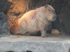 Capybara (CapybaraJP) Tags:  izu capybara