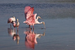 (Gema Saiz Photography) Tags: roseatespoonbills floridabirds dingdarlingnaturepreserve birdsfishing