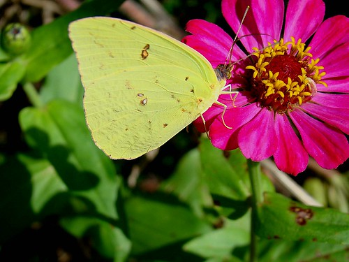Clouded sulphur butterfly 9-24-09