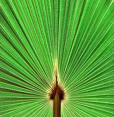 Cabbage Tree Palm detail (~Vision ~A i r y ~) Tags: nikond5000palmfrondbotanicaldetailsanglesgreennaturefoliagelivistonaaustralisphotographedontheforestwalkinroyalnationalpark sydney getty images visionairy vision airy australia visionary photo photograph image graphic popular quality leaf leaves foliage plant nature license beauty simplicity natural world planet earth love creative creativity visuals 09302009