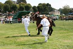 Foire agricole de Sedan (08200) (Gypsy Cob) Tags: horses horse sedan cheval ardennes stallion equine chevaux drafthorse trait heavyhorse etalon trekpaard chevaldetrait talon equinephotography ardennais zu