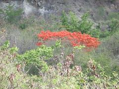 tree (dance1993) Tags: flowers red color tree desert flamboyan caborojobeach