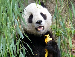 Tai in pumpkin bliss (scrunchybear) Tags: halloween pumpkin zoo panda tai national shan supershot abigfave