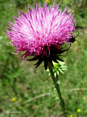 Wildflower ( Annieta  Off / On) Tags: pink italy holiday flower color macro nature fleur june juni canon ilovenature vacances vakantie juin italia thistle natuur powershot piemonte s2is fiori farbe colori canonpowershots2is 2009 asteraceae couleur allrightsreserved aosta itali distel roze bloem valledaosta valdaosta kleur carduusnutans aostavalley annieta knikkendedistel theunforgettablepictures excellentsflowers valledaosta usingthisphotowithoutpermissionisillegal