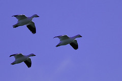 Snow Geese (Hawg Wild Photography) Tags: snowgeese firisland skagitcountywashington