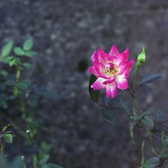 Mikawashima - Minowabashi 06 (haribote) Tags: flower japan geotagged tokyo bronica fujifilm sq arakawaku zenzabronica zenzanon 160ns mikawashima pn160ns s80mmf28 geo:lat=3573206 geo:lon=139785803