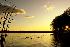 Lake Varese, evening on the lake... golden magic hour (oriana.italy) Tags: italy nature ducks x goldensunset reflexions lombardia fd gavirate anawesomeshot ysplix lakevarese img070 orianaitaly superbigot