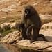 Baboon at Buffalo Springs