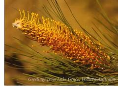 """Flame Grevillea"", Wildflowers of Lake Grace"