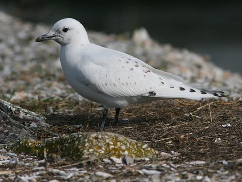 Ivory Gull 20091208