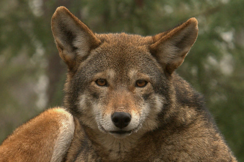 Mount Shasta Wolf Pack - OPEN TO ALL 4185769880_d62c7f02ba