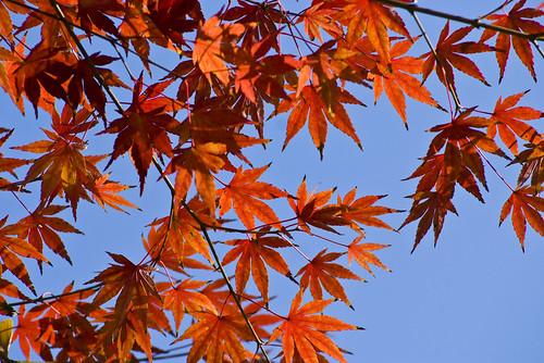 青瓦台 韓國 楓紅 紅葉 銀杏