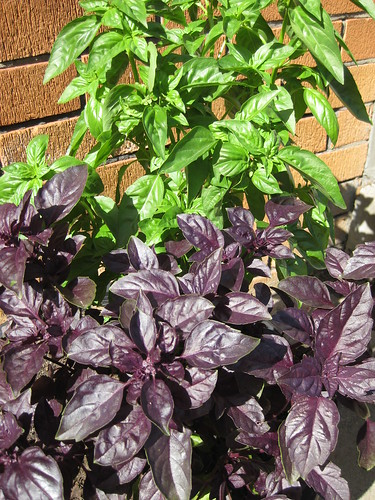 Green and Purple Basil in container