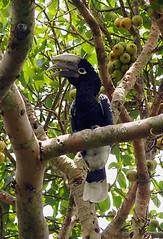 Silvery-cheeked Hornbill, Kanyiyo Pabidi,  Uganda