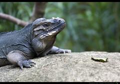 Iguanidae Iguanidae Cycluracornuta