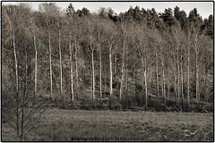 low winterlight (Sailing dog) Tags: ale nol platser sverige grönska landskap skog träd vinter
