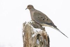 Dove in Winter (a56jewell) Tags: a56jewelldove bird winter feb