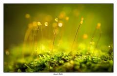 La mousse qui pousse (Laurent Asselin) Tags: mousse plante forêt vert orange gouttes guyane