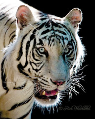 White Tiger (Rick Shackletons Photographic Adventures) Tags: rick shackleton soe whitetiger aza napleszoo platinumphoto betterthangood thechallengefactory colliercountyflorida rickshackleton